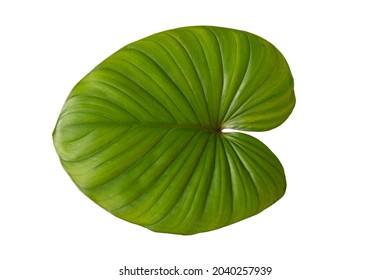 PngtreeHoja De Alocasia En El Bosque, Alocasia, Hojas leaf on white background