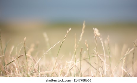 Poaceae - cereal grass on pasture