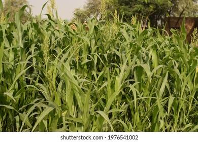 Gramineae (Poaceae) family