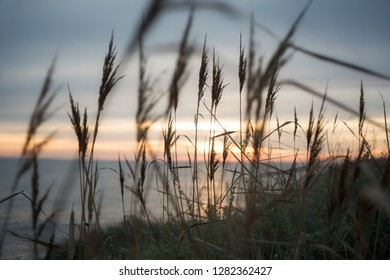 Poaceae or Gramineae plant like the Timothy grass at the foreground and moody colors of the sunset on the beach in Brittany, France.