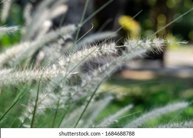 Poaceae Grass Flowers Field background.