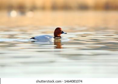 Pochard male on surface of lake at morning