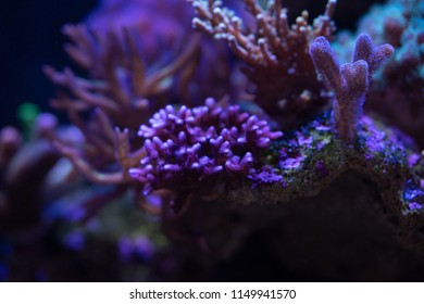 pocillopora coral on a reef