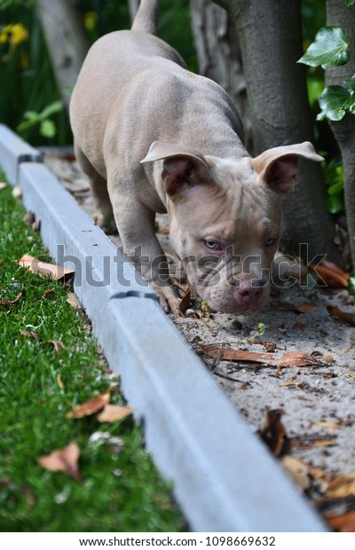 Pocket Bully Dog Breed Stock Photo (Edit Now) 1098669632