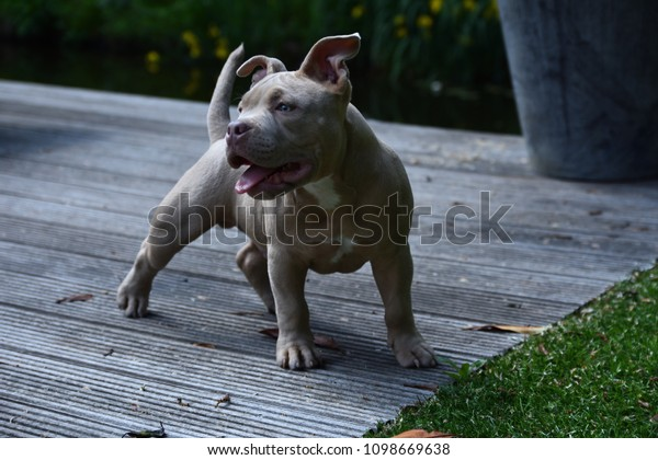 Pocket Bully Dog Breed Stock Photo (Edit Now) 1098669638