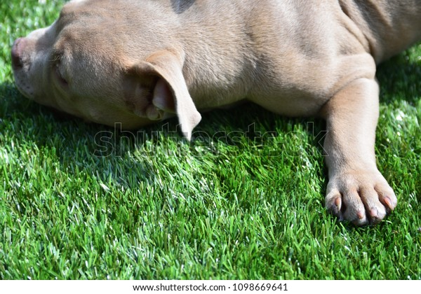 Pocket Bully Dog Breed Stock Photo (Edit Now) 1098669641
