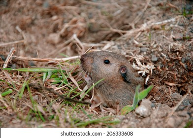 Pocket Gopher peeking out of a hole in Point Reyes, California
