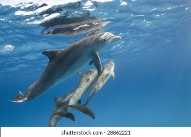 A pod of Atlantic Spotted Dolphin (Stenella frontalis) head to the surface while playing.