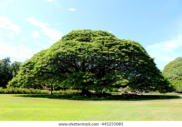 pod big tree in Hawaii
