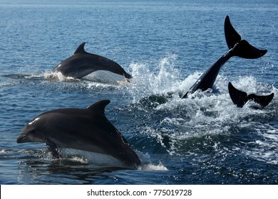 A pod of Bottlenosed Dolphin (Turslops aduncus) in Sandwich Bay off the coast of Namibia