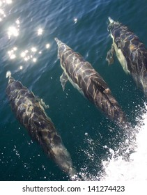 A pod of common dolphin surf on a boat wake in a lagoon in Mexico