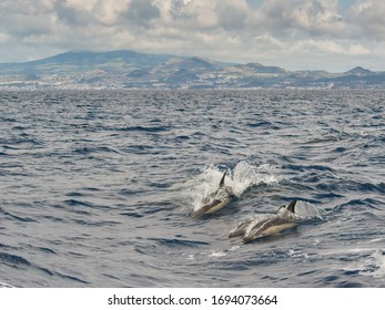 Pod of common dolphins swimming with Sao Miguel Island in the background, Azores