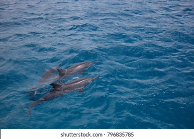 Pod of Dolphins and Babies Swim in Clear Blue Pacific Ocean in Hawaii