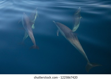 Pod of four common bottlenosed dolphins swimming underwater near the Channel Islands National Park off the California coast in United States