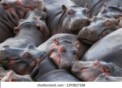 A pod of hippos, Hippopotamus amphibius,  huddle together in the Mara River, Masai Mara, Kenya.