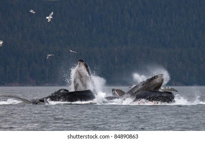 Pod of humpback whales bubble net feeding off the coast of Juneau, Alaska.