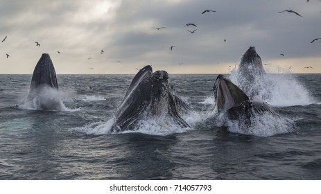 A pod of humpback whales lunge feed in Monterey Bay, California.