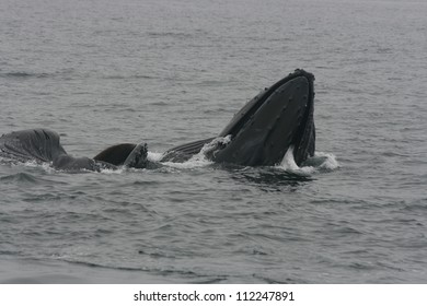 A  pod of Humpback whales lunge feeds off the California coast