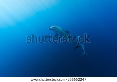 Pod Inshore Bottlenose Dolphins Swims Crystal Stock Photo