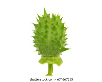 Pod of Jimson Weed, Datura stramonium, also known as Devil's snare, Thorn Apple, Devil's Trumpet, Angel Tulip, Hell's Bells or Datura.