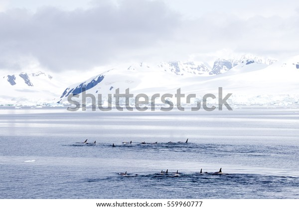 A pod of Killer Whales in the Gerlache Strait, Antarctica
