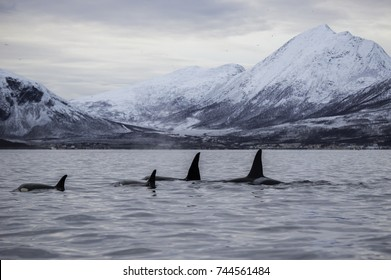 Pod of killer whales swimming on the surface during the winter months when they feed on herring in the fjords,  northern Norway.