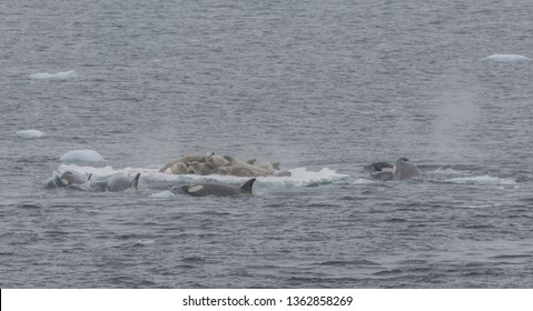 Pod of Orca hunting for Crabeater Seals on an ice floe, Antarctic Peninsula