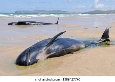 A pod of pilot whales lie stranded on a beach in Ireland  - Shutterstock ID 1389427790