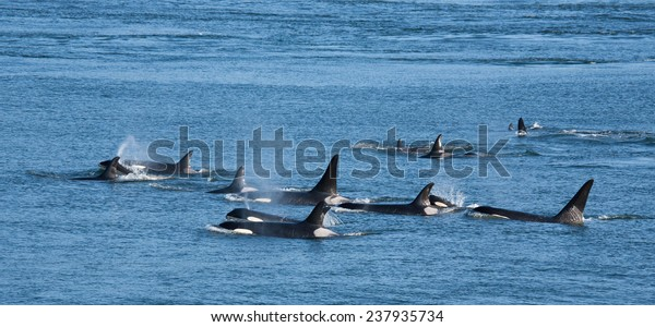 A pod of Southern Resident orcas in British Columbia, Canada.
