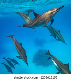 A pod of spinner dolphins swimming in the Red Sea