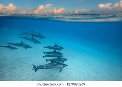 Pod of wild dolphins traveling in tropical sea water on sunset background, underwater photo