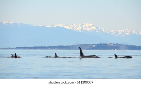 A pod of wild orcas travels north in the waters of the Salish Sea, the towering Olympic Mountains behind them.