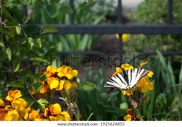 podalirius-butterfly-family-swallowtails