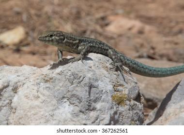 Podarcis lilfordi, lizard endemic to  Dragonera island, nature reserve in Mallorca, Balearic islands, Spain.