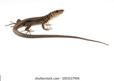 Podarcis muralis (common wall lizard)