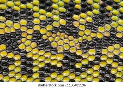 Podarcis muralis (common wall lizard) skin