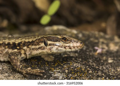 Podarcis muralis, Common wall lizard from Germany, Europe