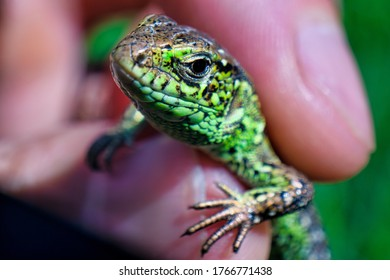 Podarcis muralis macro image (common wall lizard). Multicolor beautiful reptile close up with colorful bright skin. The concept of disguise and bright skins. Man holding a lizard.