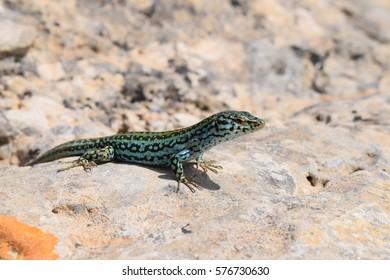Podarcis Pityusensis Formenterae lizard resting on stone