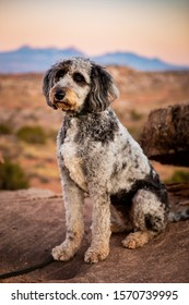Royalty Free Sheepdog Poodle Mix Stock Images Photos