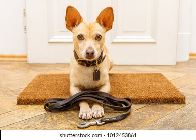 podenco dog waiting for owner to play  and go for a walk on door mat ,behind home door entrance with leash on ground
