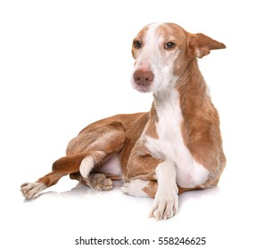 podenco ibicenco in front of white background