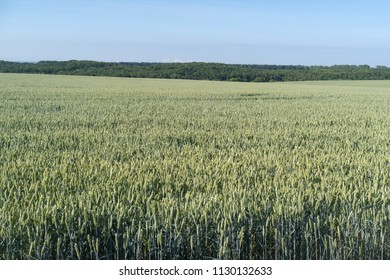 Podolia region of Ukraine, Spring landscape. Green wheat field and blue sky