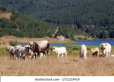 Podolica cow grazing on a mountain of the Sila National Park, Calabria, Italy