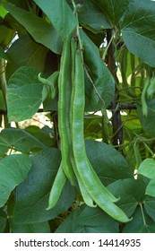 Pods of runner beans on plant waiting to be harvested