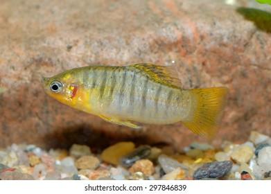 Poecilia fish