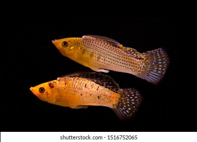 Poecilia velifera, the Yucatan molly, live-bearer fish from Poeciliidae family. Isolated on black.