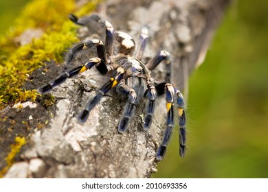 Poecilotheria metallica, also known as the Gooty sapphire ornamental. It has been classified as Critically endangered by the IUCN.