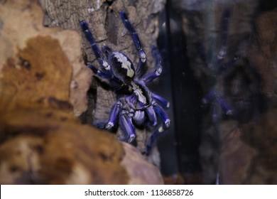 Poecilotheria metallica wild tarantula