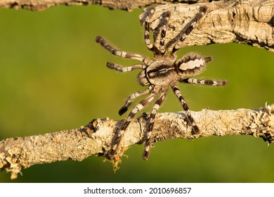 Poecilotheria ornata, known as the fringed ornamental or ornate tiger spider, is a large arboreal tarantula, which is endemic to Sri Lanka.